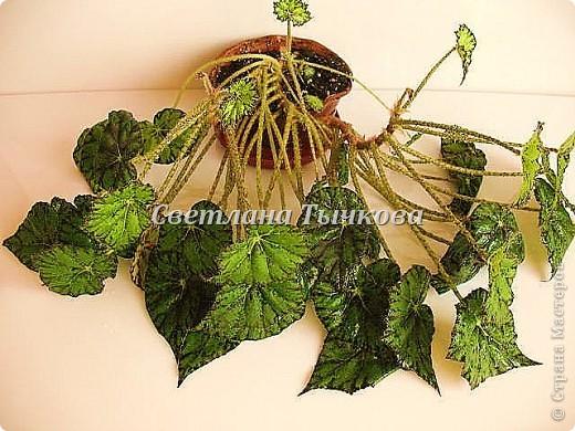 Цереус скалистый(кактусовые) фото 16