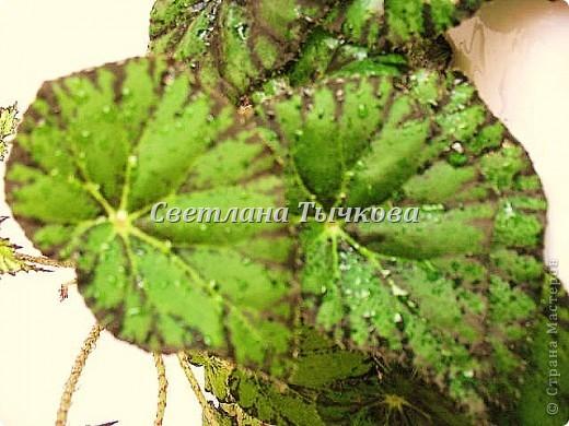 Цереус скалистый(кактусовые) фото 17