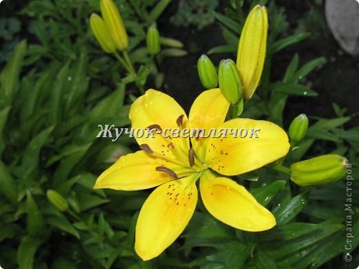 Желтая лилия. фото 1