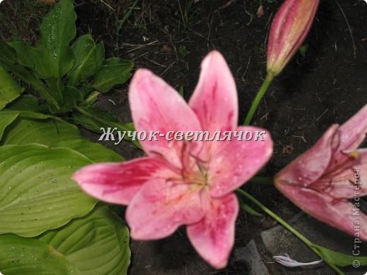 Желтая лилия. фото 3