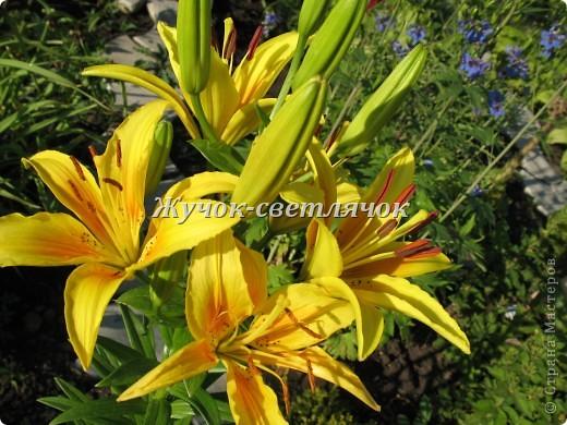 Желтая лилия. фото 6