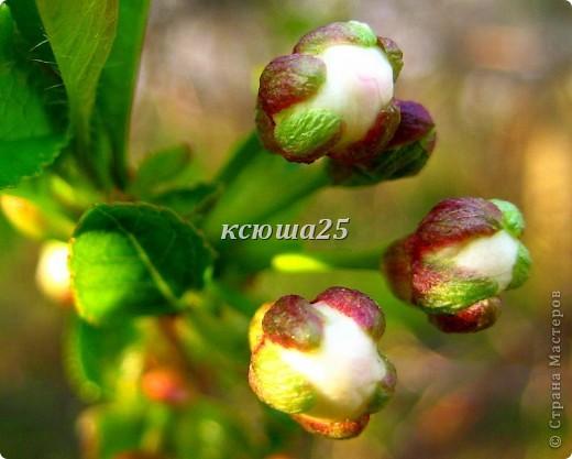 Вишневый сад фото 19