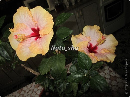 """Приветик всем ) Есть в моем цветочном хозяйстве чудесный Гибискус ,решила так сказать """"поподражать"""" природе.Что у меня получилось - судить вам)) фото 6"""