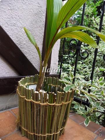 Всем привет!!! Пока плетется корзинка...созрел очередной проект для моего любимца.  Кокосовая пальма привезенная из теплых краев растет у меня дома.  Захотелось придать ей больше экзотичности, создать ей ауру как будто она у себя на Родине.  Кажется мне это удалось.... фото 2