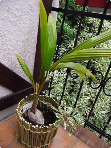 Всем привет!!! Пока плетется корзинка...созрел очередной проект для моего любимца.  Кокосовая пальма привезенная из теплых краев растет у меня дома.  Захотелось придать ей больше экзотичности, создать ей ауру как будто она у себя на Родине.  Кажется мне это удалось.... фото 1
