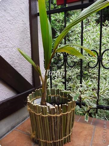 Всем привет!!! Пока плетется корзинка...созрел очередной проект для моего любимца.  Кокосовая пальма привезенная из теплых краев растет у меня дома.  Захотелось придать ей больше экзотичности, создать ей ауру как будто она у себя на Родине.  Кажется мне это удалось.... фото 3
