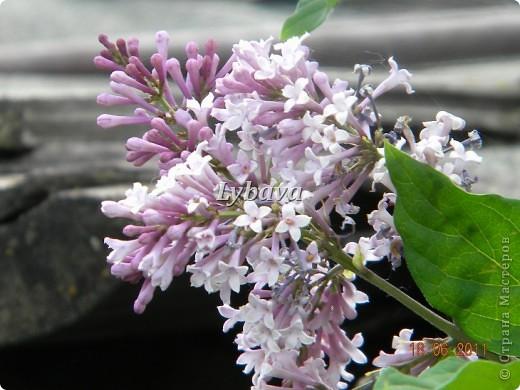 """Хочу предложить Вам еще свои фотографии. Надеюсь, они Вам пригодятся в творчестве.           """"СЧАСТЬЕ""""  Как празднично сад расцветила сирень Лилового, белого цвета. Сегодня особый - сиреневый - день, Начало цветущего лета.  За несколько дней разоделись кусты, Недавно раскрывшие листья, В большие и пышные гроздья-цветы, В густые и влажные кисти.  И мы вспоминаем, с какой простотой, С какою надеждой и страстью Искали меж звездочек в грозди густой Пятилепестковое """"счастье"""".  С тех пор столько раз перед нами цвели Кусты этой щедрой сирени. И если мы счастья еще не нашли, То, может быть, только от лени.   С.Маршак источник: http://lady.webnice.ru/litsalon/?act=article&v=352 фото 1"""