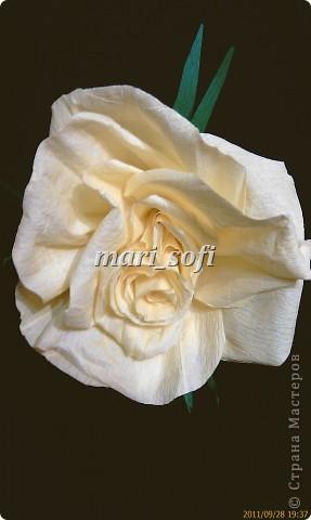 Моя первая роза!  фото 1