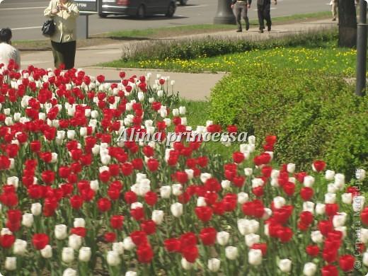 Хочу продемонстрировать вам  цветы в Петербурге и не только!!! я сама не очень люблю срывать цветы-потом хоть и красиво, но и тяжело выбрасывать завянувшие высохшие цветы!!! Ну, в общем смотрите!  фото 7