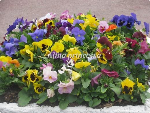 Хочу продемонстрировать вам  цветы в Петербурге и не только!!! я сама не очень люблю срывать цветы-потом хоть и красиво, но и тяжело выбрасывать завянувшие высохшие цветы!!! Ну, в общем смотрите!  фото 9