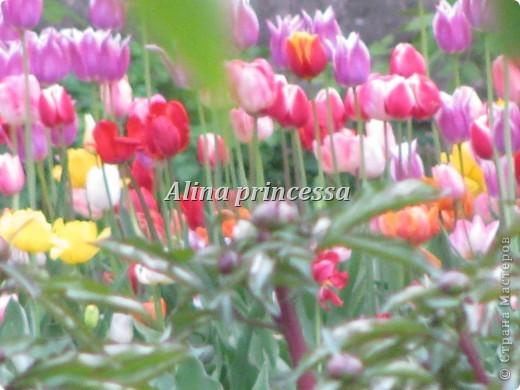 Хочу продемонстрировать вам  цветы в Петербурге и не только!!! я сама не очень люблю срывать цветы-потом хоть и красиво, но и тяжело выбрасывать завянувшие высохшие цветы!!! Ну, в общем смотрите!  фото 10