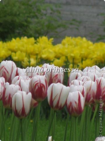 Хочу продемонстрировать вам  цветы в Петербурге и не только!!! я сама не очень люблю срывать цветы-потом хоть и красиво, но и тяжело выбрасывать завянувшие высохшие цветы!!! Ну, в общем смотрите!  фото 11