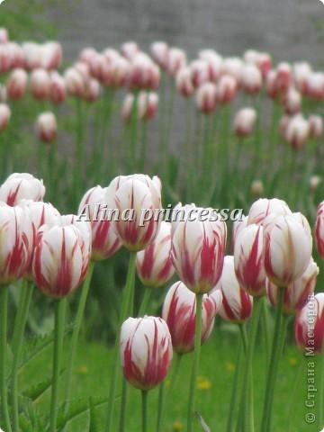 Хочу продемонстрировать вам  цветы в Петербурге и не только!!! я сама не очень люблю срывать цветы-потом хоть и красиво, но и тяжело выбрасывать завянувшие высохшие цветы!!! Ну, в общем смотрите!  фото 12