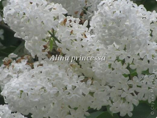 Хочу продемонстрировать вам  цветы в Петербурге и не только!!! я сама не очень люблю срывать цветы-потом хоть и красиво, но и тяжело выбрасывать завянувшие высохшие цветы!!! Ну, в общем смотрите!  фото 15