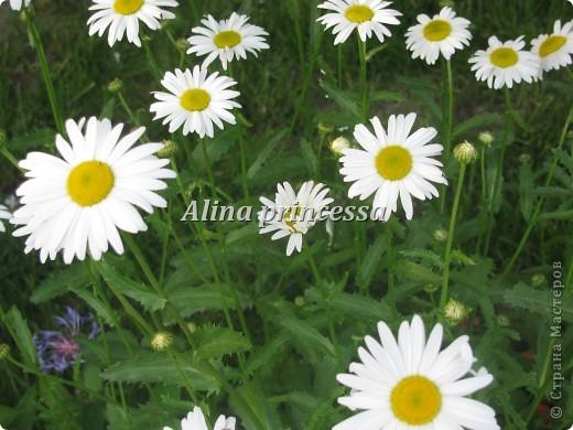 Хочу продемонстрировать вам  цветы в Петербурге и не только!!! я сама не очень люблю срывать цветы-потом хоть и красиво, но и тяжело выбрасывать завянувшие высохшие цветы!!! Ну, в общем смотрите!  фото 16