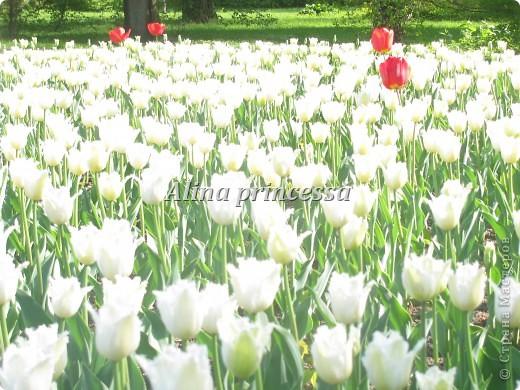 Хочу продемонстрировать вам  цветы в Петербурге и не только!!! я сама не очень люблю срывать цветы-потом хоть и красиво, но и тяжело выбрасывать завянувшие высохшие цветы!!! Ну, в общем смотрите!  фото 4