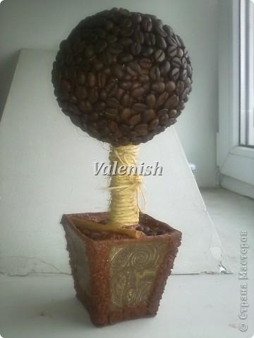 Дебют. Первое мое кофейное дерево фото 6