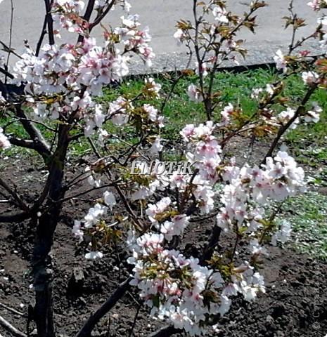 """Во время своего  визита в Москву вице-губернатор Токио Канди Мураяма сделал подарок городу в виде 72 саженцев сакуры.  """"Сакура для японцев имеет большое значение, у нас все ждут ее цветения, так как оно означает приход весны. Сакура - это знак радости"""", - сказал Мураяма. фото 4"""