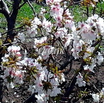"""Во время своего  визита в Москву вице-губернатор Токио Канди Мураяма сделал подарок городу в виде 72 саженцев сакуры.  """"Сакура для японцев имеет большое значение, у нас все ждут ее цветения, так как оно означает приход весны. Сакура - это знак радости"""", - сказал Мураяма. фото 5"""