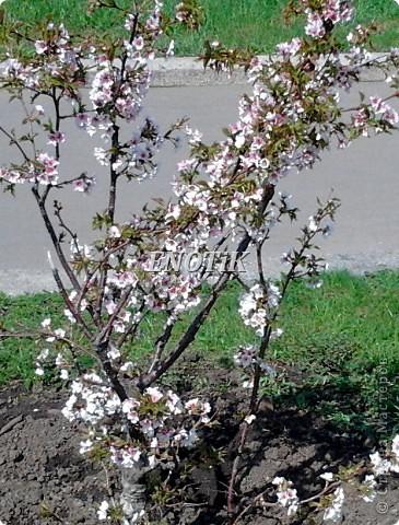 """Во время своего  визита в Москву вице-губернатор Токио Канди Мураяма сделал подарок городу в виде 72 саженцев сакуры.  """"Сакура для японцев имеет большое значение, у нас все ждут ее цветения, так как оно означает приход весны. Сакура - это знак радости"""", - сказал Мураяма. фото 8"""