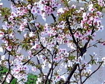 """Во время своего  визита в Москву вице-губернатор Токио Канди Мураяма сделал подарок городу в виде 72 саженцев сакуры.  """"Сакура для японцев имеет большое значение, у нас все ждут ее цветения, так как оно означает приход весны. Сакура - это знак радости"""", - сказал Мураяма. фото 11"""