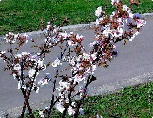 """Во время своего  визита в Москву вице-губернатор Токио Канди Мураяма сделал подарок городу в виде 72 саженцев сакуры.  """"Сакура для японцев имеет большое значение, у нас все ждут ее цветения, так как оно означает приход весны. Сакура - это знак радости"""", - сказал Мураяма. фото 13"""