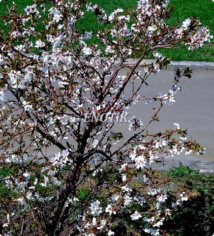 """Во время своего  визита в Москву вице-губернатор Токио Канди Мураяма сделал подарок городу в виде 72 саженцев сакуры.  """"Сакура для японцев имеет большое значение, у нас все ждут ее цветения, так как оно означает приход весны. Сакура - это знак радости"""", - сказал Мураяма. фото 16"""