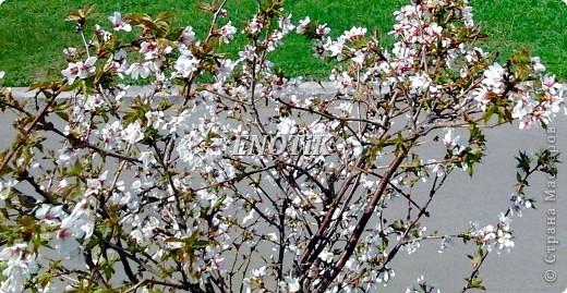 """Во время своего  визита в Москву вице-губернатор Токио Канди Мураяма сделал подарок городу в виде 72 саженцев сакуры.  """"Сакура для японцев имеет большое значение, у нас все ждут ее цветения, так как оно означает приход весны. Сакура - это знак радости"""", - сказал Мураяма. фото 18"""