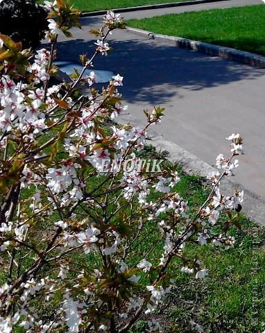 """Во время своего  визита в Москву вице-губернатор Токио Канди Мураяма сделал подарок городу в виде 72 саженцев сакуры.  """"Сакура для японцев имеет большое значение, у нас все ждут ее цветения, так как оно означает приход весны. Сакура - это знак радости"""", - сказал Мураяма. фото 19"""