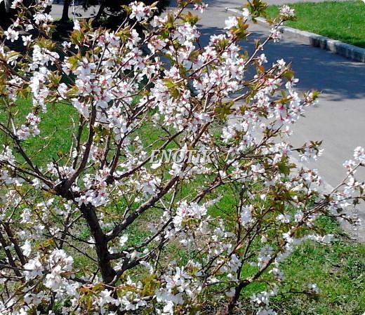 """Во время своего  визита в Москву вице-губернатор Токио Канди Мураяма сделал подарок городу в виде 72 саженцев сакуры.  """"Сакура для японцев имеет большое значение, у нас все ждут ее цветения, так как оно означает приход весны. Сакура - это знак радости"""", - сказал Мураяма. фото 21"""