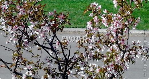 """Во время своего  визита в Москву вице-губернатор Токио Канди Мураяма сделал подарок городу в виде 72 саженцев сакуры.  """"Сакура для японцев имеет большое значение, у нас все ждут ее цветения, так как оно означает приход весны. Сакура - это знак радости"""", - сказал Мураяма. фото 23"""
