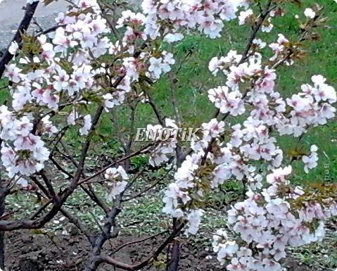 """Во время своего  визита в Москву вице-губернатор Токио Канди Мураяма сделал подарок городу в виде 72 саженцев сакуры.  """"Сакура для японцев имеет большое значение, у нас все ждут ее цветения, так как оно означает приход весны. Сакура - это знак радости"""", - сказал Мураяма. фото 24"""