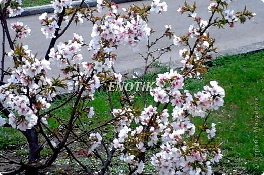 """Во время своего  визита в Москву вице-губернатор Токио Канди Мураяма сделал подарок городу в виде 72 саженцев сакуры.  """"Сакура для японцев имеет большое значение, у нас все ждут ее цветения, так как оно означает приход весны. Сакура - это знак радости"""", - сказал Мураяма. фото 25"""