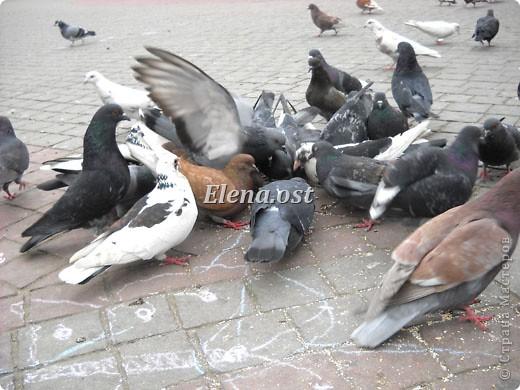 Мы с Вероникой очень любим кормить голубей. Берем с собой горох, семечки, различные крупы и в путь к нашим пернатым питомцам. фото 8