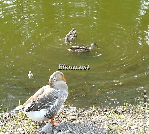 Мы с Вероникой очень любим кормить голубей. Берем с собой горох, семечки, различные крупы и в путь к нашим пернатым питомцам. фото 17