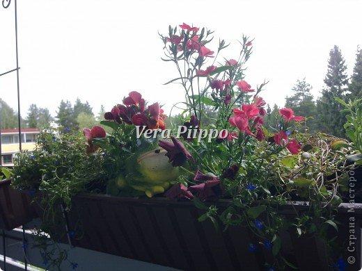Маленький садик на балконе,для души . фото 3