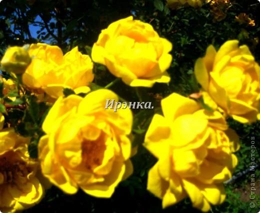 Это наш розарий в мае стояла жарища, что в июне уже роз было - целый миллион! фото 30