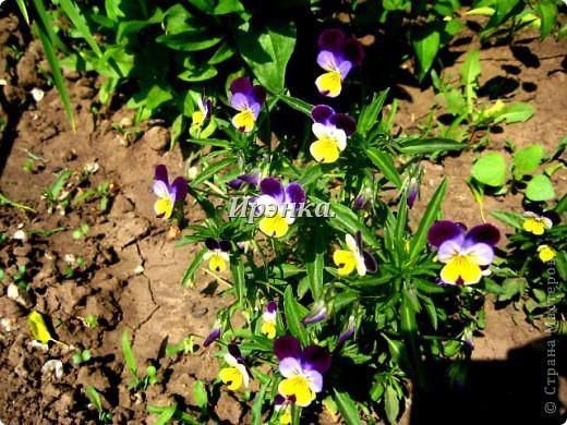 Это наш розарий в мае стояла жарища, что в июне уже роз было - целый миллион! фото 32