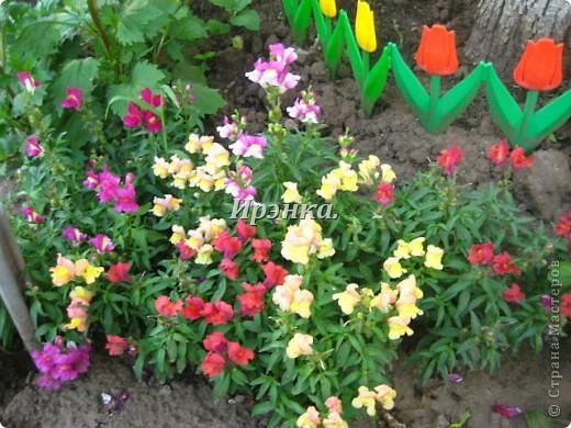Это наш розарий в мае стояла жарища, что в июне уже роз было - целый миллион! фото 34