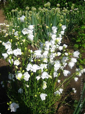 Это наш розарий в мае стояла жарища, что в июне уже роз было - целый миллион! фото 37