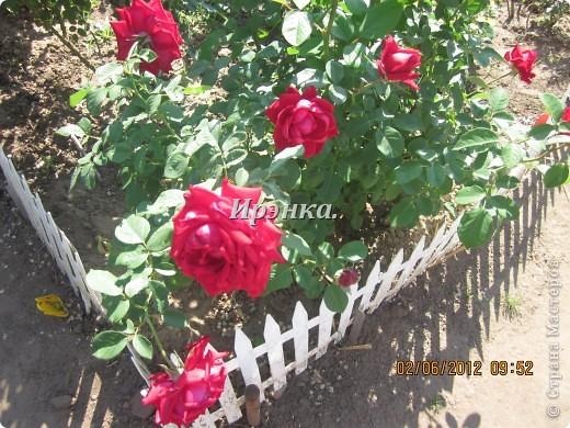 Это наш розарий в мае стояла жарища, что в июне уже роз было - целый миллион! фото 2