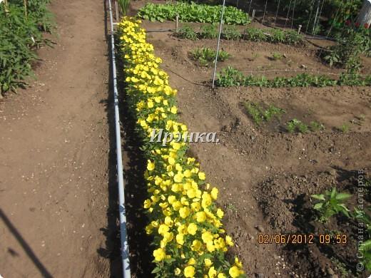 Это наш розарий в мае стояла жарища, что в июне уже роз было - целый миллион! фото 5