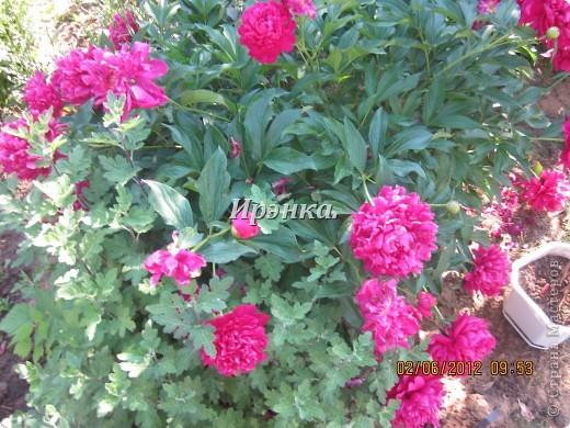 Это наш розарий в мае стояла жарища, что в июне уже роз было - целый миллион! фото 7