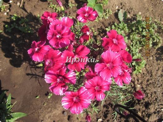 Это наш розарий в мае стояла жарища, что в июне уже роз было - целый миллион! фото 8