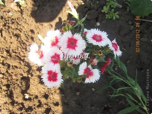 Это наш розарий в мае стояла жарища, что в июне уже роз было - целый миллион! фото 9