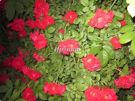 Это наш розарий в мае стояла жарища, что в июне уже роз было - целый миллион! фото 4