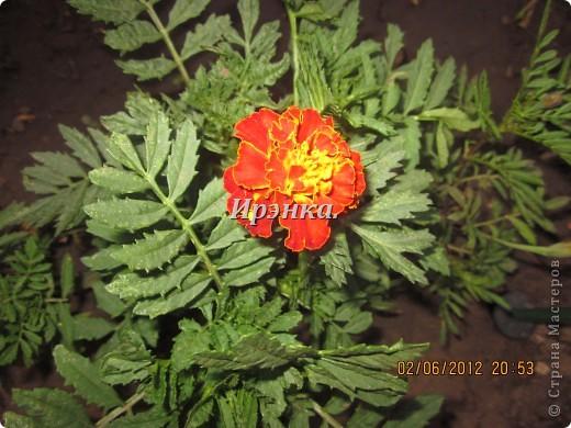 Это наш розарий в мае стояла жарища, что в июне уже роз было - целый миллион! фото 12