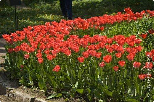 """Такое цветение тюльпанов можно наблюдать в эти дни в Москве, в так называемом """"Аптекарском огороде"""". фото 1"""