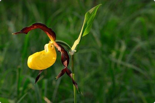 Редко кого может отставить равнодушным это удивительное растение. Хочу и я показать свой вариант этой дикой орхидеи - венериного башмачка. Их несколько разновидностей, но именно этот, венерин башмачок настоящий, с золотой сверкающей туфелькой в центре, привлёк моё внимание. фото 3